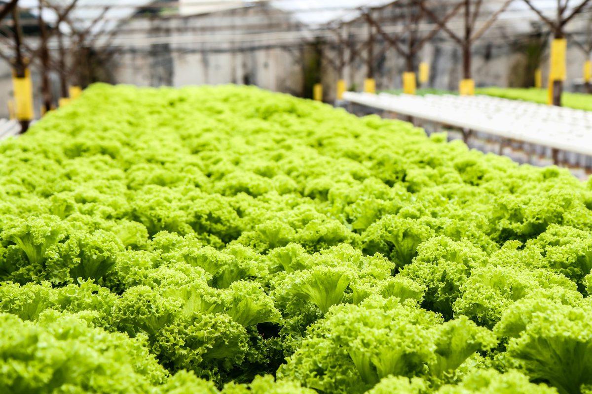 lettuce-139602_1920