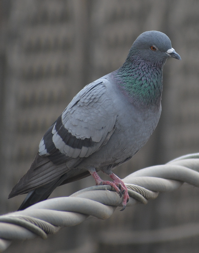 Pigeon_on_high_tension_cable